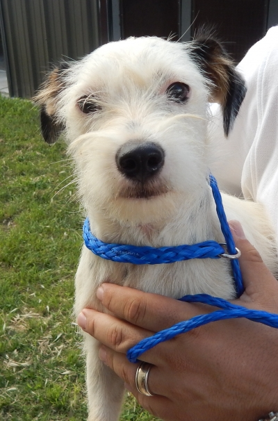 <u> Mix-Bred PARSON JACK RUSSELL TERRIER Female  Young  Puppy </u>