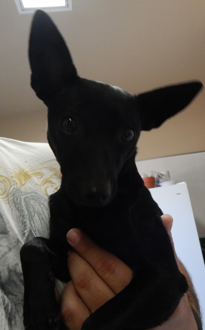 <u> Mix-Bred CHIHUAHUA - SMOOTH COATED Female  Adult  Dog </u>