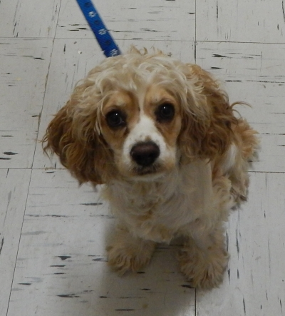 <u> Mix-Bred COCKER SPANIEL Female  Adult  Dog </u>