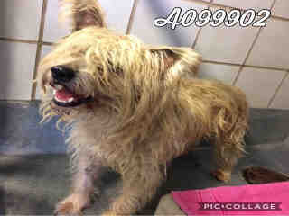 Mix-Bred FOX TERRIER - WIREHAIRED Male  Adult  Dog #A099902#  Animal Care Services (San Antonio) - click here to view larger pic