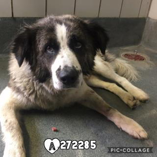 Mix-Bred ST BERNARD - SMOOTH COATED Male  Adult  Dog #A272285#  Animal Care Services (San Antonio) - click here to view larger pic