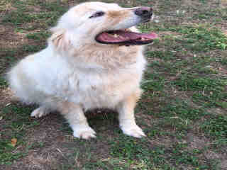 Mix-Bred GOLDEN RETRIEVER Male  Adult  Dog #A289510#  Animal Care Services (San Antonio) - click here to view larger pic