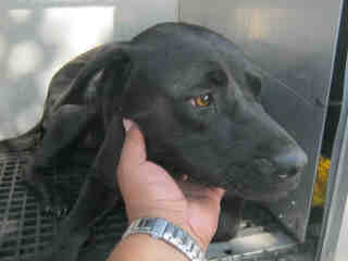 <u> Mix-Bred LABRADOR RETRIEVER Female  Adult  Dog  (Secondary Breed: BLEND)</u>