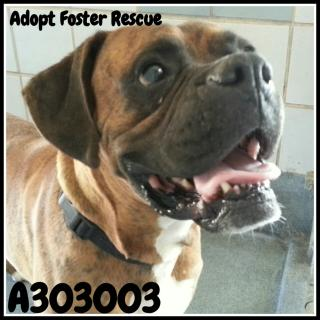 BOXER Male  Adult  Dog #A303003#  Animal Care Services (San Antonio) - click here to view larger pic