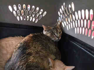 Mix-Bred DOMESTIC SHORTHAIR Female  Adult  Cat #A305857#  Animal Care Services (San Antonio) - click here to view larger pic