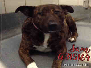 Mix-Bred PLOTT HOUND Female  Adult  Dog #A315164#  Animal Care Services (San Antonio) - click here to view larger pic