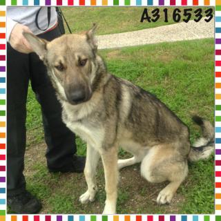 GERMAN SHEPHERD DOG Male  Adult  Dog #A316533#  - click here to view larger pic