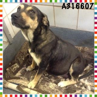 Mix-Bred BEAGLE Female  Adult  Dog #A316607#  - click here to view larger pic