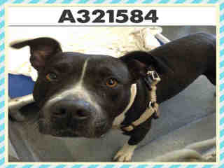 PIT BULL TERRIER Female  Adult  Dog #A321584#  Animal Care Services (San Antonio) - click here to view larger pic
