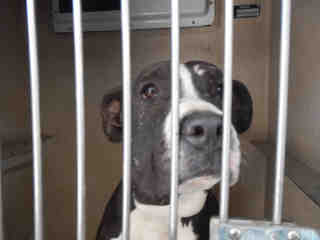 AMERICAN STAFFORDSHIRE TERRIER Male  Adult  Dog #A321867#  - click here to view larger pic
