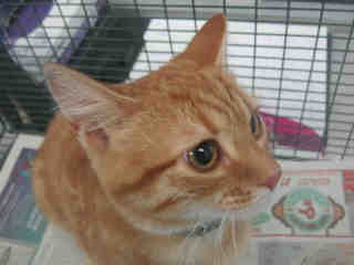 Mix-Bred DOMESTIC SHORTHAIR Female  Adult  Cat #A322681#  Animal Care Services (San Antonio) - click here to view larger pic