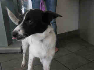 Mix-Bred BORDER COLLIE Male  Young  Puppy #A325079#  - click here to view larger pic