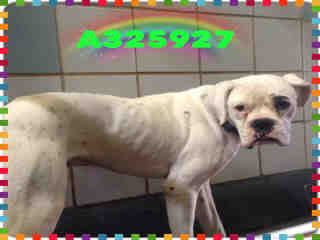 BOXER Male  Adult  Dog #A325927#  Animal Care Services (San Antonio) - click here to view larger pic