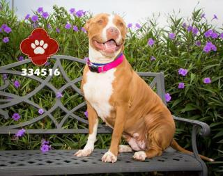 AMERICAN STAFFORDSHIRE TERRIER Female  Adult  Dog #A334516#  - click here to view larger pic
