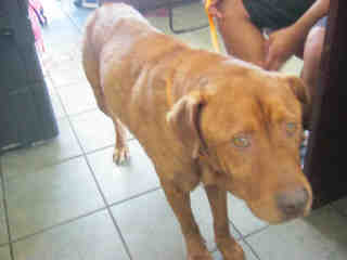 Mix-Bred LABRADOR RETRIEVER Male  Adult  Dog #A334891#  - click here to view larger pic
