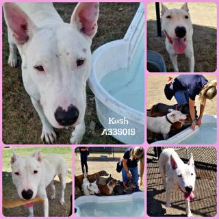 <u> Mix-Bred BULL TERRIER Male  Adult  Dog  (Secondary Breed: BLEND)</u>