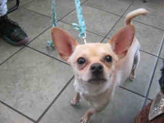 CHIHUAHUA - SMOOTH COATED Female  Young  Puppy #A339602#  - click here to view larger pic