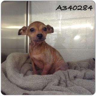 CHIHUAHUA - SMOOTH COATED Female  Adult  Dog #A340284#  - click here to view larger pic