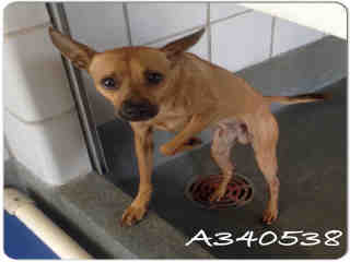 CHIHUAHUA - SMOOTH COATED Male  Adult  Dog #A340538#  - click here to view larger pic