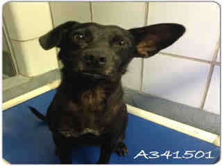 Mix-Bred TERRIER Female  Adult  Dog #A341501#  - click here to view larger pic