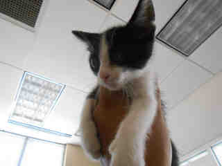 Mix-Bred DOMESTIC SHORTHAIR Male  Young  Kitten #A342674#  - click here to view larger pic