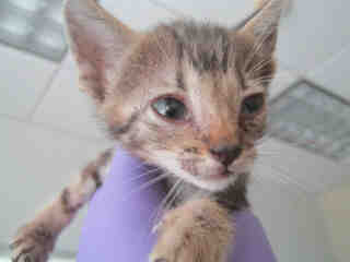 Mix-Bred DOMESTIC SHORTHAIR Male  Young  Kitten #A343000#  - click here to view larger pic