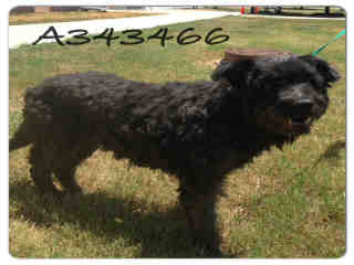 Mix-Bred CURLY-COATED RETRIEVER Male  Adult  Dog #A343466#  - click here to view larger pic