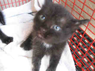 Mix-Bred DOMESTIC SHORTHAIR Female  Young  Kitten #A343683#  - click here to view larger pic