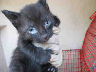 Mix-Bred DOMESTIC SHORTHAIR Female  Young  Kitten #A343686#  - click here to view larger pic