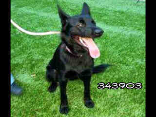 <u> Mix-Bred SHEPHERD Female  Young  Puppy  (Secondary Breed: BLEND)</u>