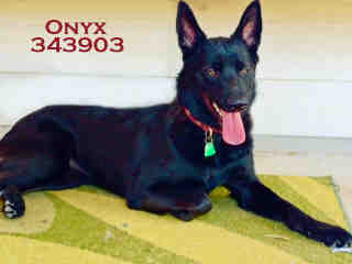 Mix-Bred SHEPHERD Female  Young  Puppy #A343903#  - click here to view larger pic