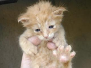 Mix-Bred DOMESTIC SHORTHAIR Male  Young  Kitten #A344059#  - click here to view larger pic