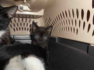 Mix-Bred DOMESTIC SHORTHAIR Female  Young  Kitten #A344326#  - click here to view larger pic