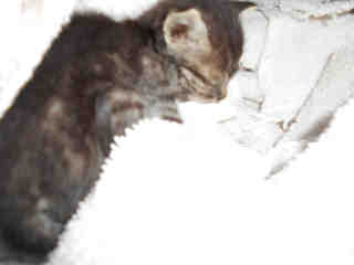 Mix-Bred DOMESTIC SHORTHAIR Female  Young  Kitten #A344830#  - click here to view larger pic