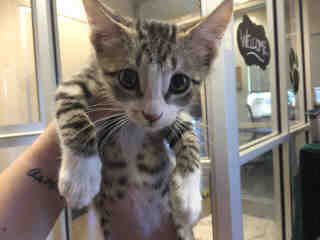Mix-Bred DOMESTIC SHORTHAIR Male  Young  Kitten #A344855#  - click here to view larger pic