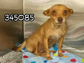 CHIHUAHUA - SMOOTH COATED Female  Adult  Dog #A345085#  - click here to view larger pic