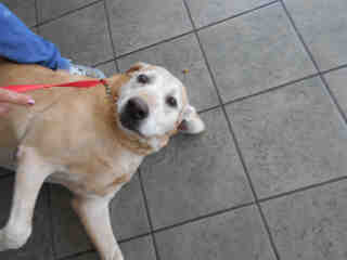 LABRADOR RETRIEVER Male  Adult  Dog #A345405#  - click here to view larger pic