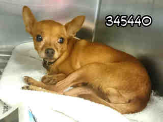 CHIHUAHUA - SMOOTH COATED Female  Adult  Dog #A345440#  - click here to view larger pic