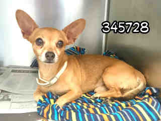 CHIHUAHUA - SMOOTH COATED Male  Adult  Dog #A345728#  - click here to view larger pic
