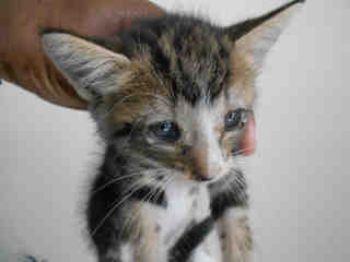 Mix-Bred DOMESTIC SHORTHAIR Female  Young  Kitten #A345729#  - click here to view larger pic