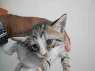 Mix-Bred DOMESTIC SHORTHAIR Female  Young  Kitten #A345731#  - click here to view larger pic