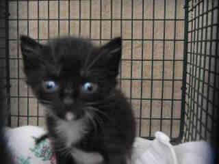 Mix-Bred DOMESTIC SHORTHAIR Male  Young  Kitten #A345739#  - click here to view larger pic