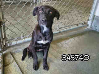 Mix-Bred LABRADOR RETRIEVER Female  Young  Puppy #A345740#  - click here to view larger pic