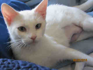 Mix-Bred DOMESTIC SHORTHAIR Female  Adult  Cat #A345767#  - click here to view larger pic
