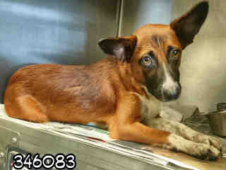 Mix-Bred WELSH CORGI - CARDIGAN Male  Adult  Dog #A346083#  - click here to view larger pic