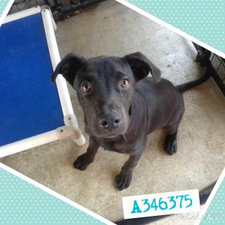 LABRADOR RETRIEVER Male  Young  Puppy #A346375#  - click here to view larger pic