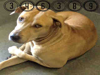 <u> Mix-Bred LABRADOR RETRIEVER Male  Adult  Dog  (Secondary Breed: AMERICAN STAFFORDSHIRE TERRIER)</u>