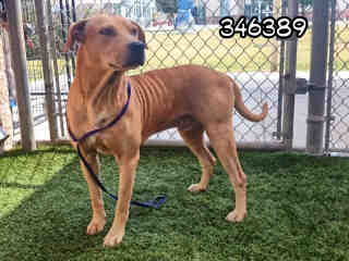 Mix-Bred LABRADOR RETRIEVER Male  Adult  Dog #A346389#  - click here to view larger pic