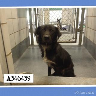 Mix-Bred BORDER COLLIE Male  Young  Puppy #A346439#  - click here to view larger pic