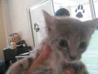 Mix-Bred DOMESTIC SHORTHAIR Male  Young  Kitten #A346451#  - click here to view larger pic